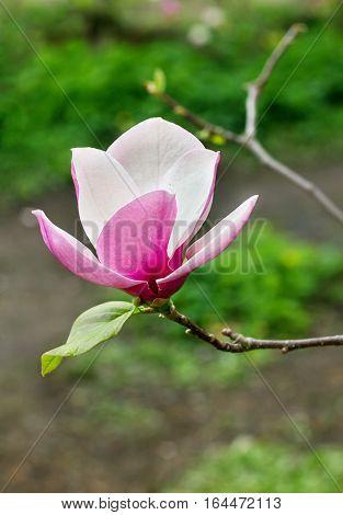 One flower of magnolia tree in spring garden