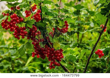 picked redcurrants. ripe red currant collected. autumn harvest of red currant