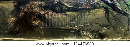 Catfish floating in snags in the river