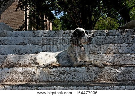 Regal white dog with black spots of hunting breed - english setter- laying on the white stairs