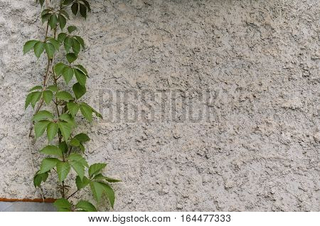 Green leaves of ivy (virginia creeper) on gray background of a stone wall
