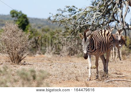 Burchell's Zebra On His Way To The Dam