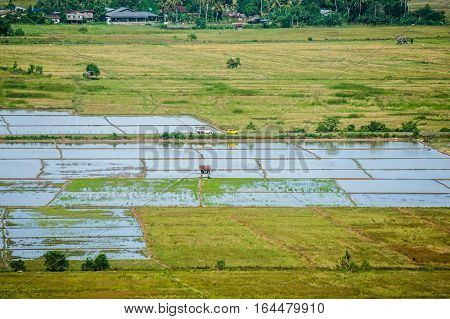 The view of water paddy fields in Kota Belud,Sabah,Borneo.Rice production of Sabah,Borneo.