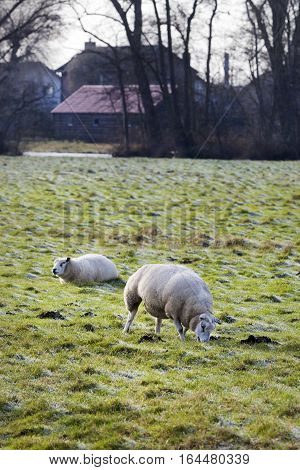 Sheep grazing in winter in the Netherlands with farmhouses in the background