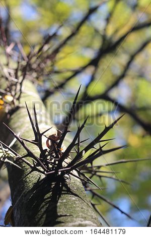 Acacia erioloba - Camel thorn tree. The spines of the acacia on the tree trunk