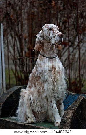 Regal big white dog with long hair and brown bright spots of hunting breed - english setter sitting in the frozen winter city park in full size in vintage style