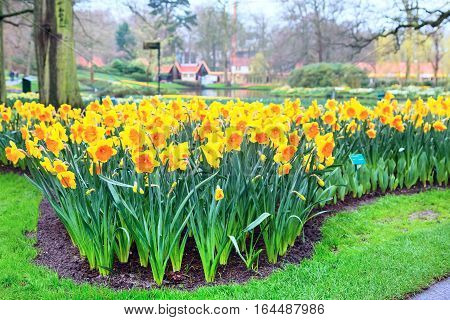 Flower bed with yellow daffodil flowers blooming in holland spring garden