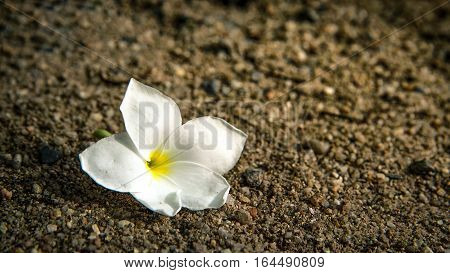 White plumeria on ground, white plumeria and sand background