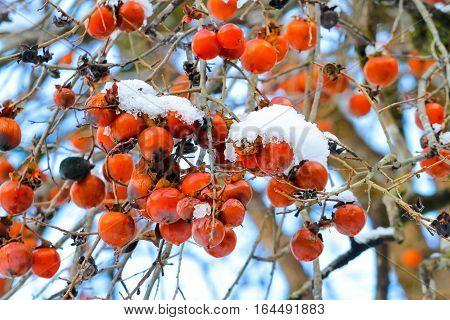 japanese persimmon with snow on tree or Kalychan minai or Diospyros kaki L.f.