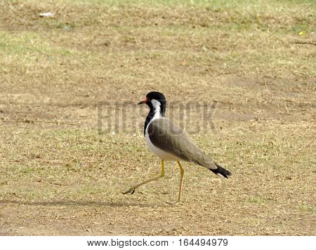 A species of wader family birds named red-wattled lapwing in he middle of a field.