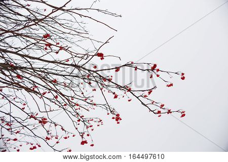 mountain ash clusters on naked branches against the background of the gray sky, cold