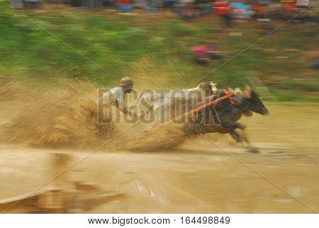 Cow race through mud on Sumatra, Indonesia
