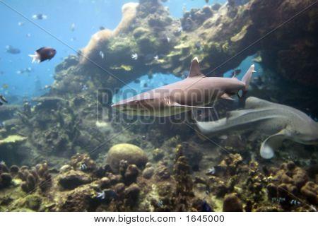 Sharkwhtip