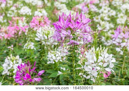 Close-up colorful pink spider flower (Cleome Spinosa) in natural garden with blurred natural background.