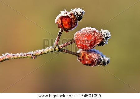 Frost On Branches. Beautiful Winter Seasonal Natural Background.frost Rosehip Bushes