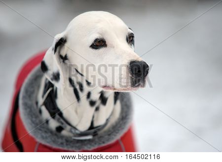 Portrait of Dalmatian dog in a red coat in winter time.