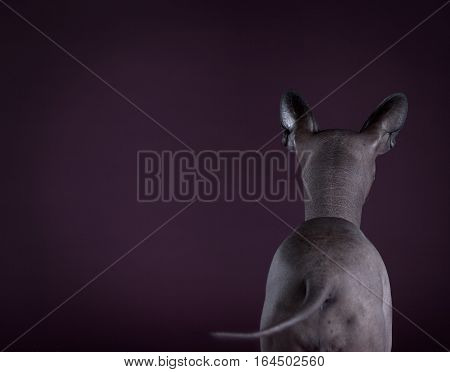Mexican hairless dog backwards with purple background