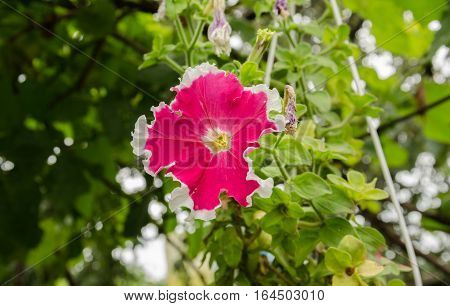 Summer garden beautiful bush blooming red petunias with green leaves
