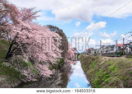 Yamagata - April 15:Kajo Park which is Yamagata Castle ruin Famous spot of Yamagata-shi first-rate cherry tree where approximately 1500 cherry trees are in full glory in April 152015