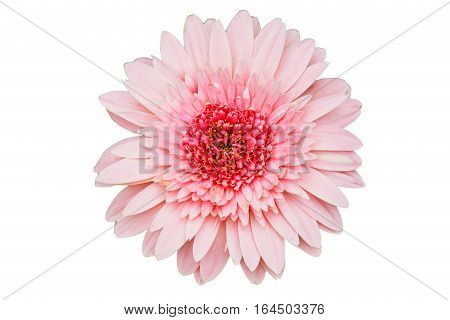 Pink Gerbera flower isolate on white background with clipping path