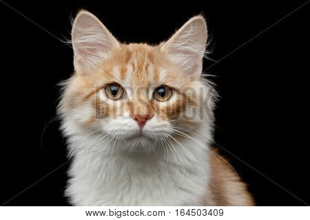 Close-up portrait of red Siberian cat pity looking in camera on isolated black background