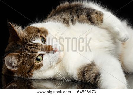 Close-up funny Cat with curious face Lying on isolated black background, resting and looks curious
