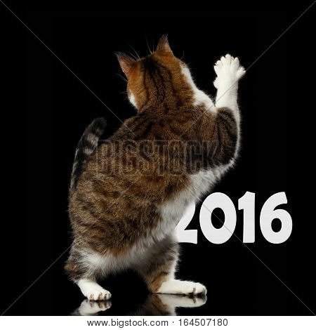 Playful Cat with funny pose standing on hind legs and turned back raising paw, stretched up on isolated black background, say goodbye 2016 or hi