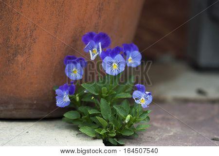 A bunch of purple violas bloom against a terracotta pot.