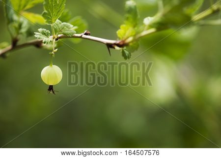 A green gooseberry ripens on the branch in summertime.