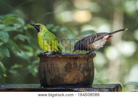 Jerdon's leafbird and Red-vented bulbul in Minneriya national park, Sri Lanka ; specie Chloropsis jerdoni and Pycnonotus cafer