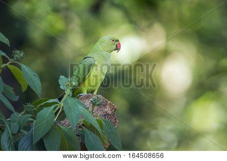 Rose-ringed parakeet in Minneriya national park, Sri Lanka ; specie Psittacula krameri family of Psittacidae