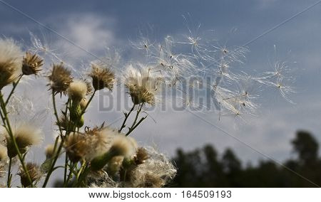 breath of wind, ease flight, the way to a new life , hot summer day a gust of wind sent the seeds of dandelions in a new life