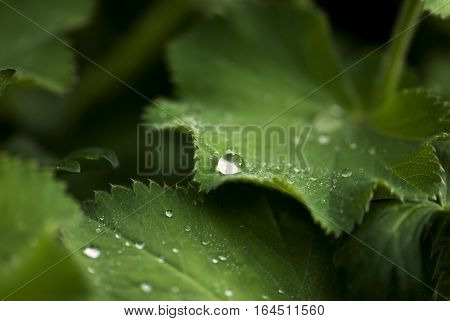 Water droplets rest on green leaves after a summer rain.
