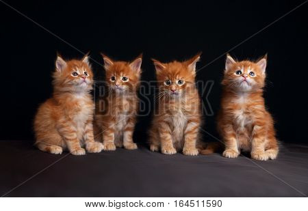 Four Adorable Red Solid Maine Coon Kittens Sitting With Beautiful Brushes On The Ears On Black Backg