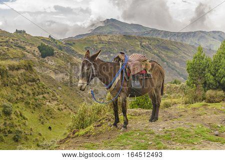 Packed Mule Resting Latacunga Ecuador