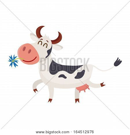 Funny black white spotted cow walking with eyes closed and daisy flower in mouth, cartoon vector illustration isolated on white background. Funny cow holding daisy in mouth, dairy farm concept