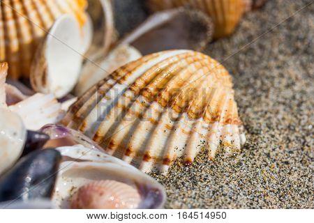 Sea shell on sand beach close up. Seashells on seashore.
