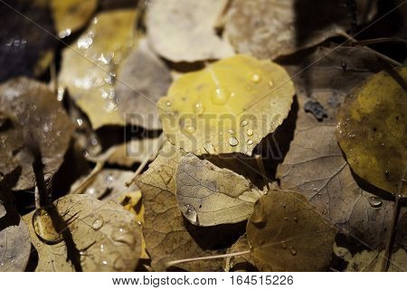 Dew drops rest fallen yellow and brown aspen leaves in the Rocky Mountain autumn.