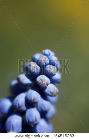Blue grape hyacinth buds rest against a green background.