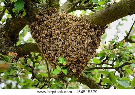 Swarm of bees in an apple tree