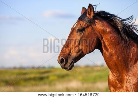 Portrait of a bay horse in the background of summer field
