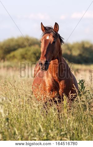 Portrait of a bay horse in the tall grass