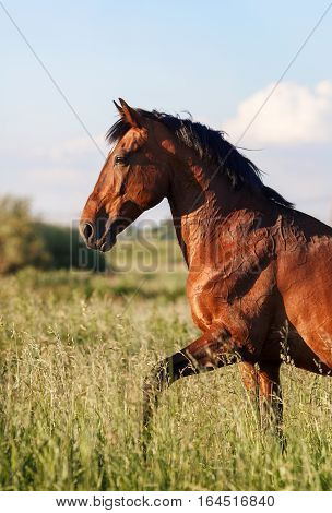 Bay horse is on the high grass
