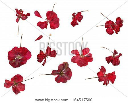 Pressed Red Geranium Set Isolated