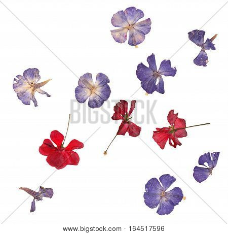 Pressed Red Geranium And Blue Phlox Set Isolated