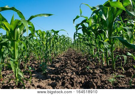 Agriculture. Rows of young corn in agricultural land.