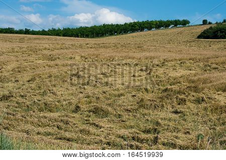 Damage from hurricane crop. Destroyed harvests of wheat. Insure crops.