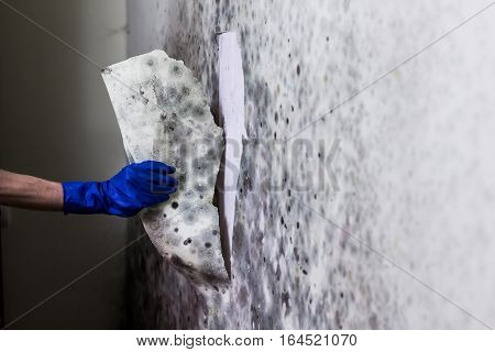 Removing mould from the wall in the house. Hand in blue glove tears off wallpapers damaged by fungus