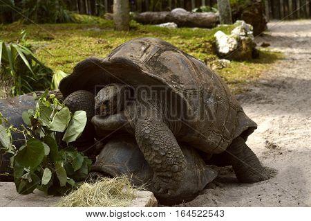 Giant tortoises mating Latin name Geochelone nigra