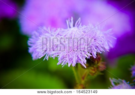 Blue Floss Flowers Or Bluemink, Blueweed, Pussy Foot, Mexican Paintbrush In Innsbruck